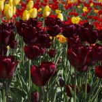 Каких цветов бывают тюльпаны?