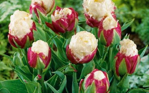 Полосатые тюльпаны