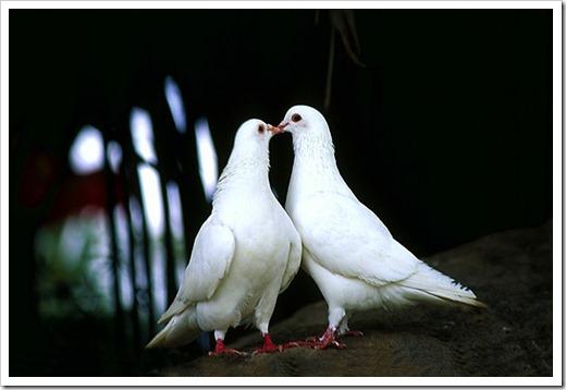 Запуск голубей на свадьбу